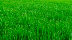 Green grass close-up. - stock footage