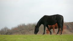 Black And Brown Horses Grazing In Field Stock Footage