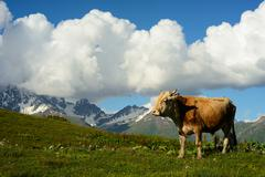 Cow grazing on hillside, Mazeri village, Svaneti, Georgia - stock photo