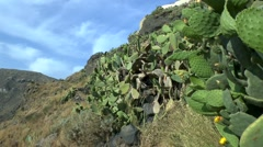 Thickets of prickly pear cactus. - stock footage