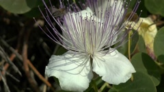 The bee flies around the flower of capers. Stock Footage