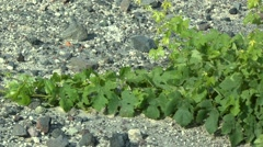 Vines on a background of poor volcanic soil. Stock Footage