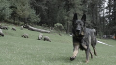 German shepherd dog running in slow motion toward camera in sheep pasture Stock Footage