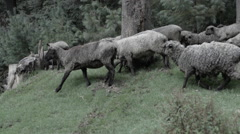 Flock of sheep moving in pasture, slow motion Stock Footage