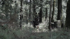 Slow motion shot of German shepherd dog running in woods Stock Footage
