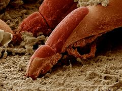 Mite on surface of Aquatic bug SEM - stock photo