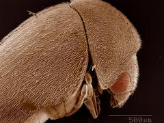 Elytra of Anobiidae beetle SEM - stock photo