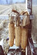 Close up of harvested corn cobs tied onto machine in field, Premosello, - stock photo