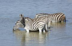 Four zebras drinking at waterhole, Etosha National Park, Namibia Stock Photos