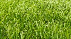 Cloudy field of green wheat grass wind Stock Footage