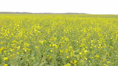 Yellow rape field after rain. Stock Footage