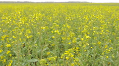 Yellow rape field after rain. Stock Footage