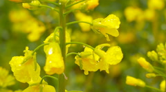 Yellow rape field after rain. Close-up - stock footage