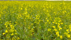 Yellow rape field after rain. - stock footage