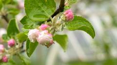 Closed bud apple flowers after rain - stock footage