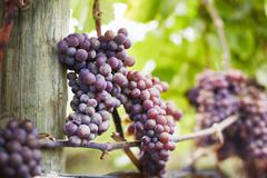 Close up of bunches of red grapes on vine, Kelowna, British Columbia, Canada Stock Photos