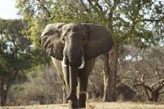 African elephant bull (Loxodonta africana), Mana Pools, Zimbabwe, Africa. Kuvituskuvat