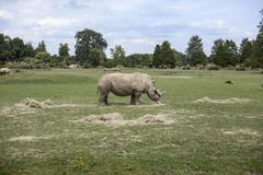 Rhinoceros grazing in field, Cotswold wildlife park, Burford, Oxfordshire, UK - stock photo