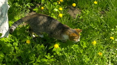 Cat sniff bee on flower Stock Footage