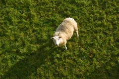 Single sheep, looking up, elevated view - stock photo