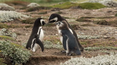 2 adult Magellanic penguins with chick at Otway Sound Penguin Colony Stock Footage