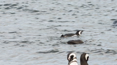 Magellanic penguin swiming in the water at Otway Sound Penguin Colony Stock Footage