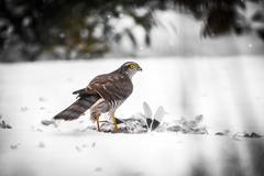 A male Goshawk with prey in snow - stock photo