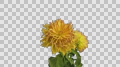 Time-lapse of dying pink yellow dahlia, 4K with ALPHA channel - stock footage