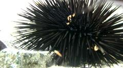 Black Sea Urchin (Arbacia lixula) on a rock. - stock footage