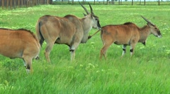 African eland grazing in the steppe Stock Footage
