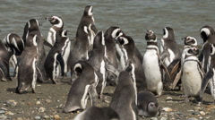 A group of Magellanic penguin on the beach at Otway Sound Penguin Colony Stock Footage