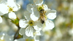 Bee collecting pollen from white pear blossoming flowers. Stock Footage