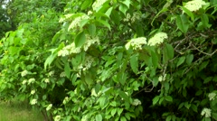 Flowering elderberry plant Stock Footage