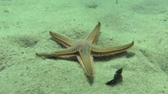 Slender sea star (Astropecten spinulosus). Stock Footage