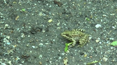 Frog sitting on the ground Stock Footage