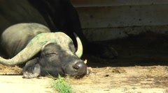 Buffalo put his head on the ground and sleeping in the corral. Stock Footage
