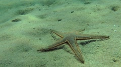 Slender sea star (Astropecten spinulosus). Stock Footage