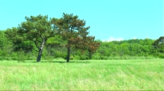 Two pine trees on a glade in the forest Stock Footage
