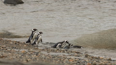 A group of Magellanic penguin swiming in the water at Otway Sound Penguin Colony Stock Footage