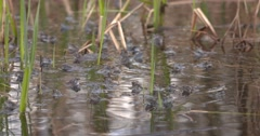 A Lot os of blue Moor Frogs Mating in the small pond Stock Footage
