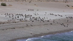 A group of Magellanic penguin on the beach at Punta Tombo Stock Footage