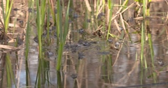 A lot of blue Moor Frogs Mating 4K Stock Footage