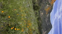 2axis MoCo Time Lapse of California Poppy Super Bloom -Vertical- Stock Footage