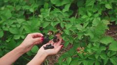 Large ripe blackberries Stock Footage