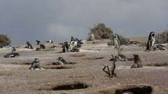 A group of Magellanic penguin at Punta Tombo Stock Footage