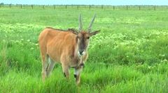 Female eland standing in the steppes in the green grass Stock Footage
