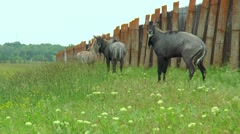 Nilgai Antelope standing in the steppes near the fence Stock Footage