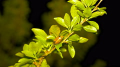 May bug on a tree branch at night. Stock Footage