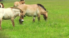Przewalski horses grazing in the steppes Stock Footage