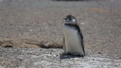 A close-up of a Magellanic penguin chick at Punta Tombo Stock Footage